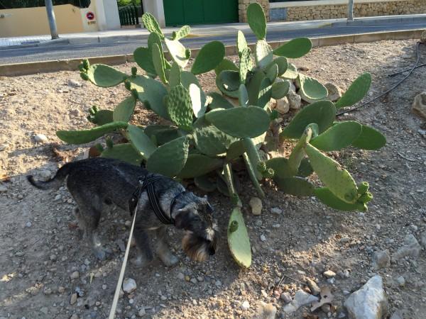 Stora kaktusar finns det i Spanien