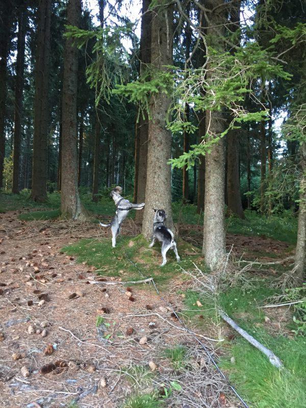 Vandring i Schönwald, jagas det inte sork så finns det ekorrar i massor!